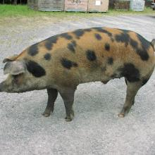 Slick the pig at 3 G's Feed Store