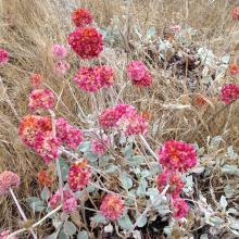 Dune Buckwheat at King Salmon