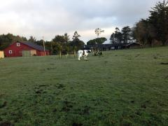 Plastic Cow in Field - Pine Hill, Eureka